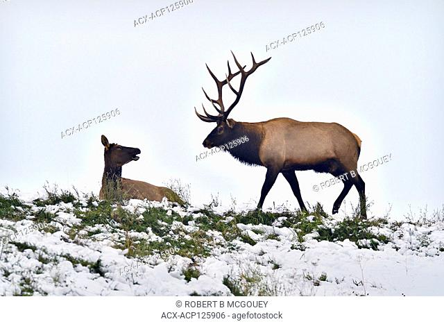 A bull elk aproaching a female elk (Cervus elaphus) that is laying down on the top of a snow covered ridge in rural Alberta, Canada
