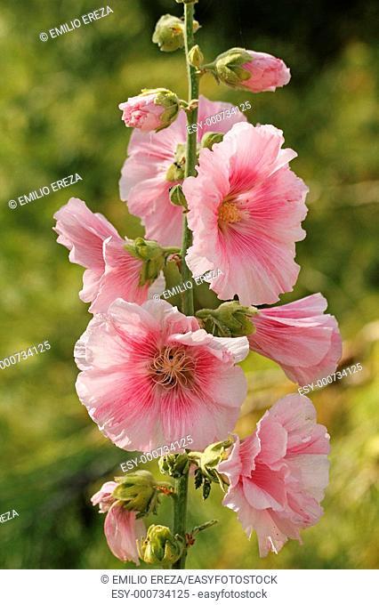 Hollyhock Althaea rosea