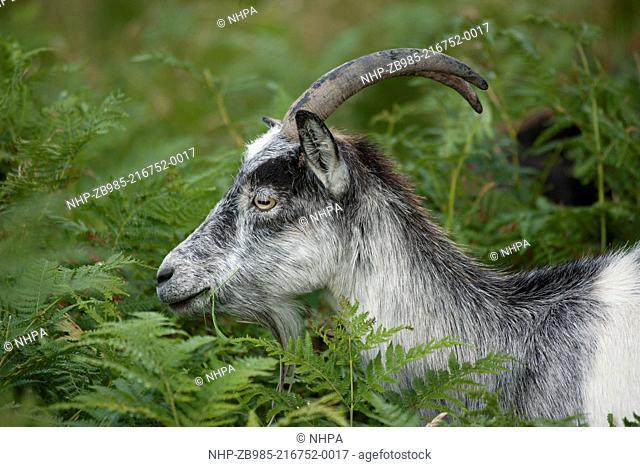 Wild goat, Galloway forest, Dumfries, Scotland