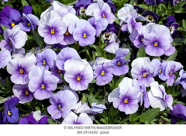 Horned Pansies (Viola cornuta 'Twix Blue Ice'), Baden-Württemberg, Germany