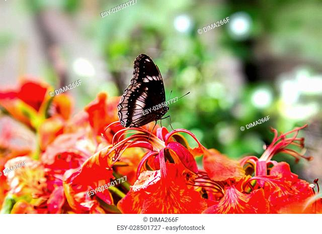 Black butterfly sitting on red flower in Phuket Butterfly Garden, Thailand
