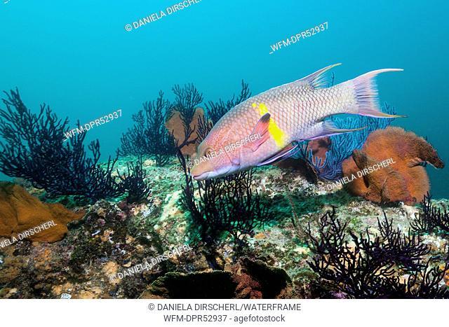 Mexican Hogfish, Bodianus diplotaenia, Cabo Pulmo Marine National Park, Baja California Sur, Mexico