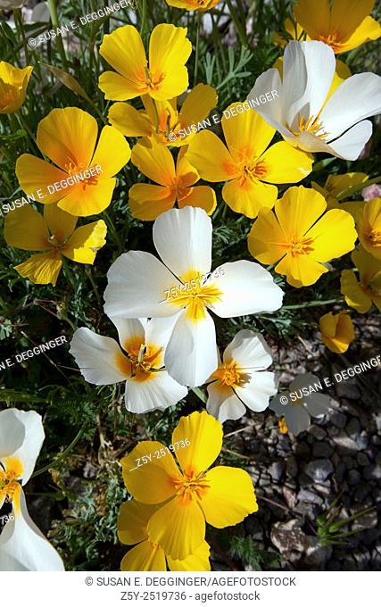 White Poppies, a genetic mutation, bloom in the Sonoran Desert, Tucson, Arizona