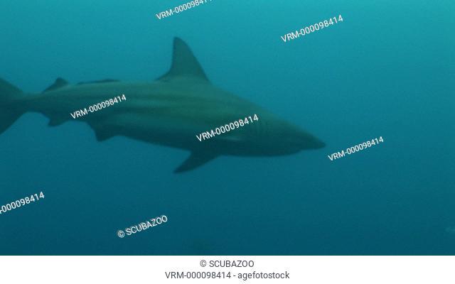 MS single Blacktip Shark Carcharhinus limbatus. Aliwal Shoals, South Africa