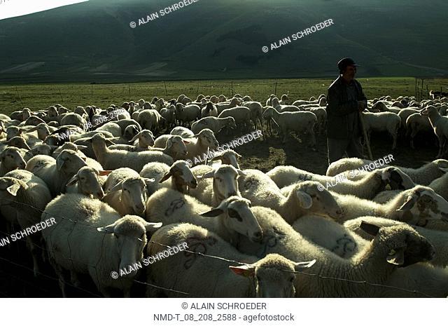 Shepherd with a flock of sheep in a field, Sibillini Mounts, Piano Grande Di Castelluccio, Umbria, Italy