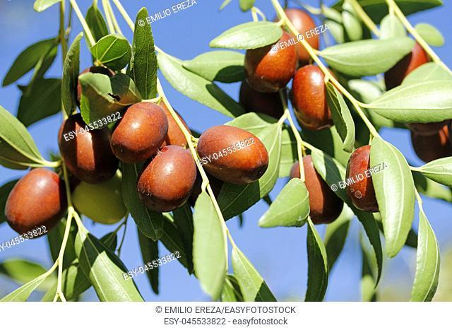 Fruits of jujube. Ziziphus jujuba
