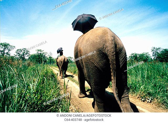 Asiatic elephants (Elephas maximus). Chitwan national park. Nepal