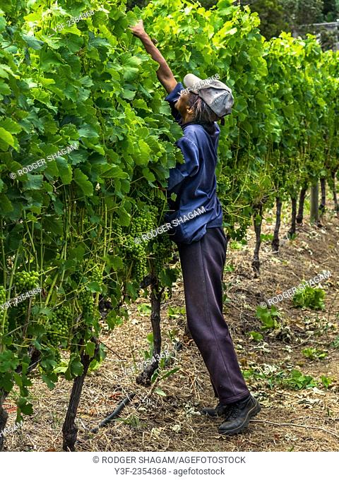 A farmworker busy trimming grape vines in the early summer. Preparing better grapes for good wine. South Africa