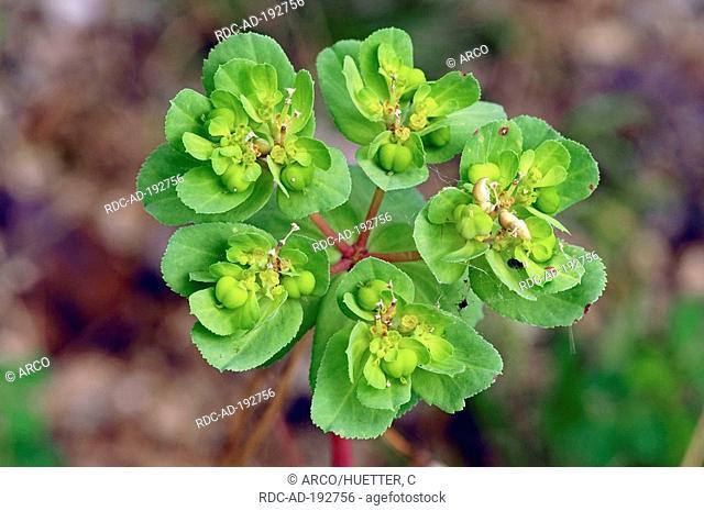 Sun Spurge, Provence, Southern France, Euphorbia helioscopia