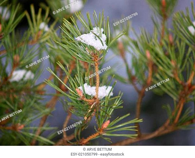 Snow in spruce tree