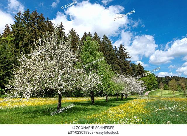 Blooming apple trees in rural landscape