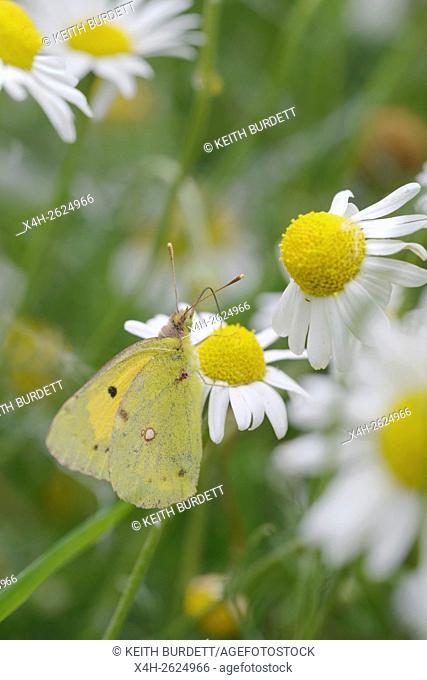 Colias croceus, Clouded Yellow butterfly feeding on Chamomile flowers, Matricaria chamomilla, Wales, UK
