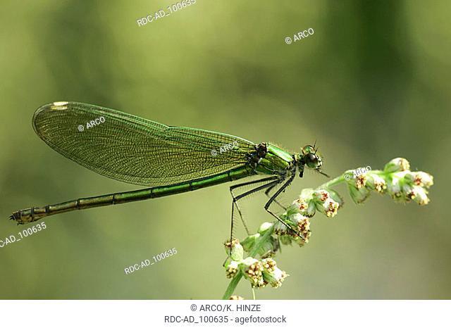 Banded Blackwing female Narew national park Poland Calopteryx splendens Agrion splendens