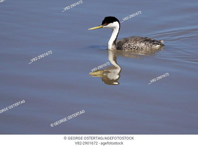 Western grebe (Aechmophorus occidentalis), Warner Wetlands Area of Critical Environmental Concern, Lakeview to Steens National Back Country Byway, Oregon