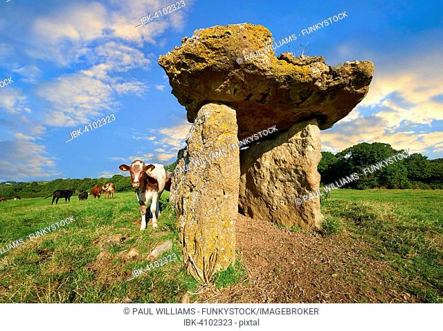 Megalith, 6000 year old, remains of St Lythans burial chamber, cows on field, near St Lythans, Vale of Glamorgan, Wales, Great Britain