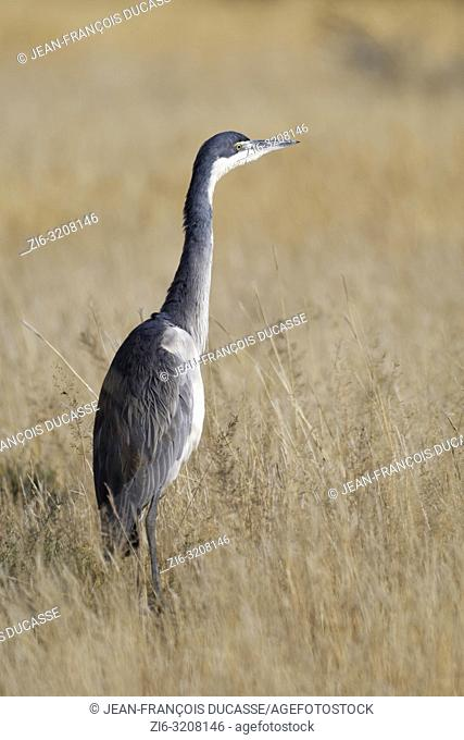 Black-headed heron (Ardea melanocephala), adult, in the high dry grass, looking for prey, Mountain Zebra National Park, Eastern Cape, South Africa, Africa