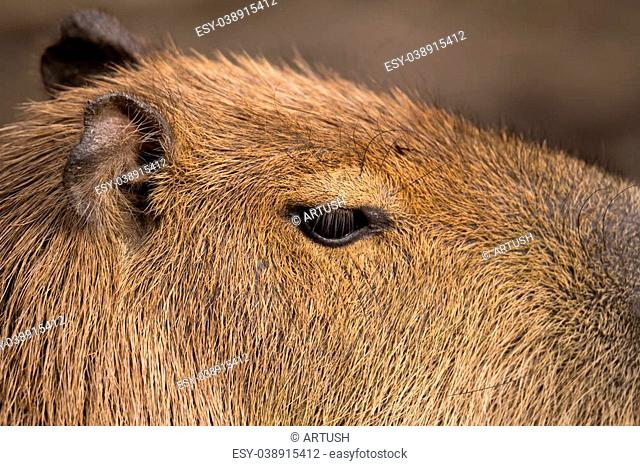 Close up photo of Capybara, Hydrochoerus hydrochaeris, the largest rodent