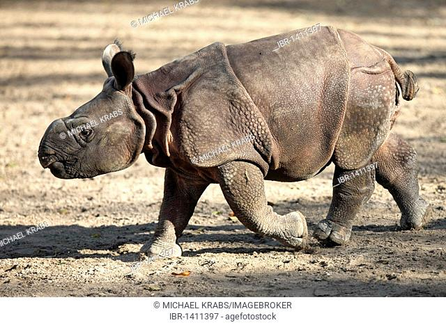 Indian Rhinoceros (Rhinoceros unicornis), 3-week-old young animal, captive