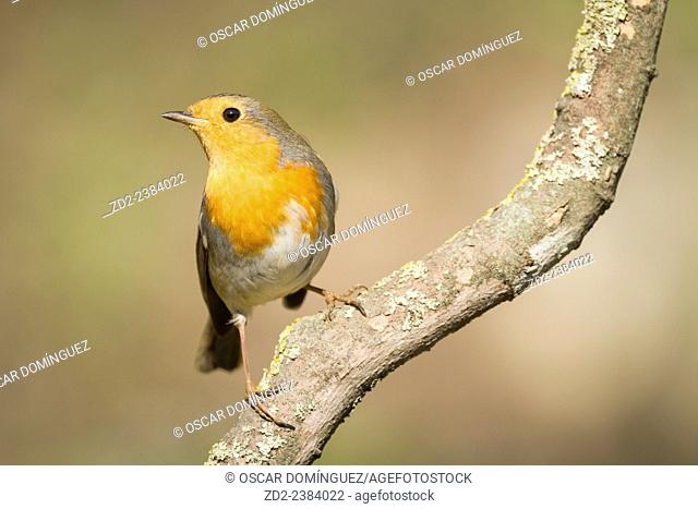 European Robin (Erithacus rubecula) perched on branch. Collserola Natural Park. Catalonia. Spain