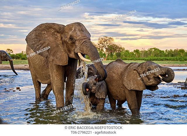 African elephant group (Loxodonta africana) drinking at a watehole. Mother and calf, Hwange National Park, Zimbabwe