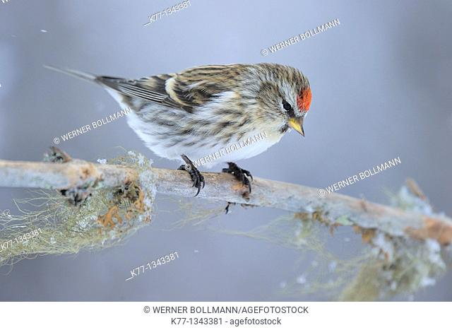Common Redpoll (Carduelis flammea), Finland, March 2010