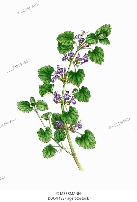 Stalk with blossoms Gundermann Glechomma hederaceum