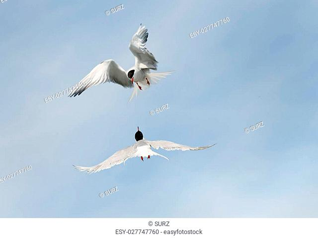 Adult common terns in flight on the sky background