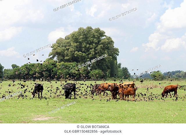 Herd of cattle grazing in a pasture
