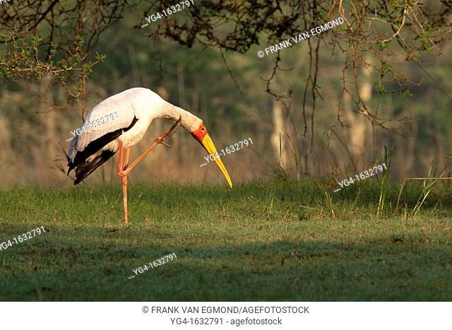 Yellow-billed Stork grooming Mycteria ibis Ndumo Game Reserve, Kwazulu-Natal, South Africa