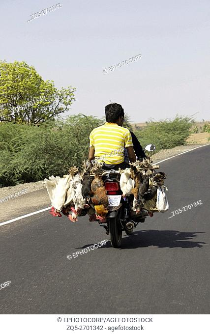 Chicken being transported on motorcycle. Baroda, Gujarat, India