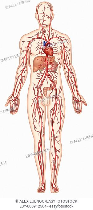 Illustration of human figure and arterial circulatory system. The arteries are membranous, elastic ducts with divergent ramifications