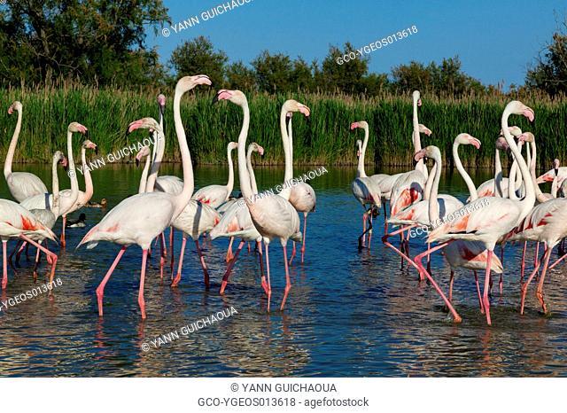 Greater Flamingos,Phoenicopterus roseus,Bird Park Of Pont De Gau, Camargue, France