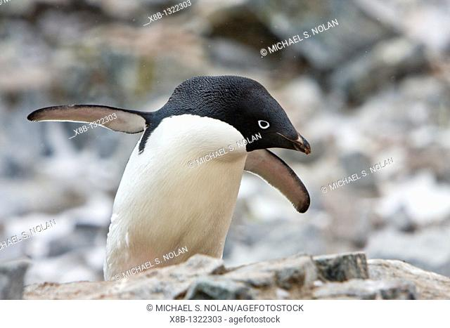 Adult Adelie penguin Pygoscelis adeliae on breeding colony on Petermann Island, Antarctica  There are an estimated 2 million breeding pairs of chinstrap...