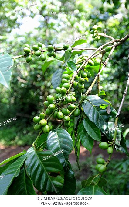 Arabian coffee or arabica coffee (Coffea arabica) is a perennial tree or shrub native to highlands of Ethiopia and Yemen