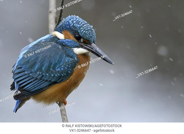 Eurasian Kingfisher ( Alcedo atthis ), male in cold winter, snowfall, perched on a branch, hunting, fluffed up feathers, wildlife, Europe