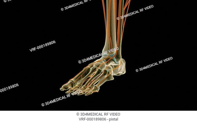 An animation of the nerves of the foot. The camera zooms in and rotates to show the nerves of the foot relative to the skeleton