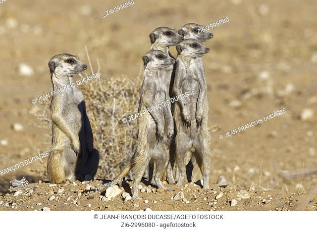 Meerkats (Suricata suricatta), adult male sitting with standing young at burrow, alert, Kgalagadi Transfrontier Park, Northern Cape, South Africa, Africa