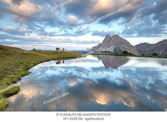 Europe, Italy, South Tyrol, Bolzano. Cows grazing near the Wackerer lake, on the background the Sass de Putia, Dolomites
