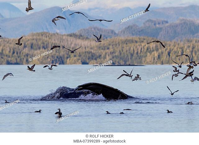 Humpback whale lounge feeding sourrounded by seagulls in Queen Charlotte Strait with the Great Bear Rainforest, British Columbia Coastal Mountains, Canada