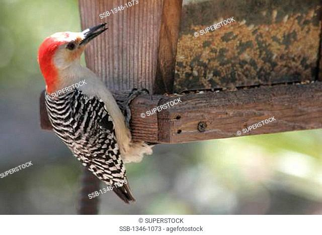 Close-up of a Red Bellied Woodpecker Melanerpes carolinus perching on a birdhouse