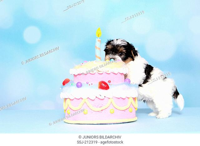 Biewer Terrier. Puppy (8 weeks old) next to a birthday cake. Studio picture against a blue background. Germany