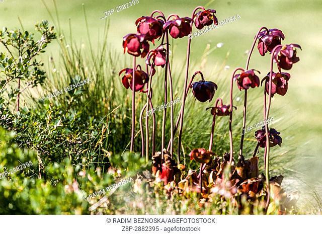 Sarracenia purpurea, Purple pitcher plant, northern pitcher plant, or side-saddle flower, is a carnivorous plant