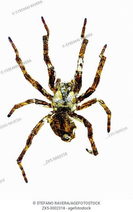 Devil Spider in resin - Americas