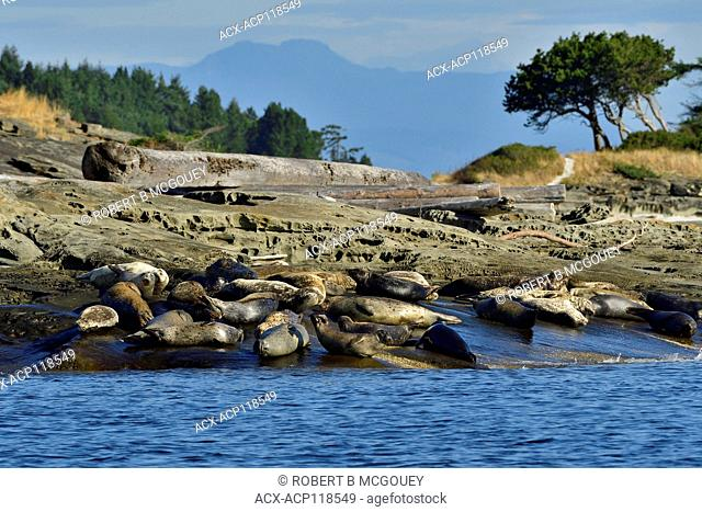 A herd of harbor seals (Phoca vitulina); lays basking in the warm sunlight on a secluded island beach near Vancouver Island British Columbia Canada