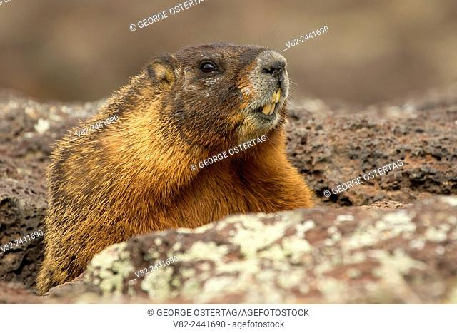 Yellow-bellied marmot (Marmota flaviventris), Thousand Springs State Park, Earl M. Hardy Box Canyon Springs Nature Preserve, Idaho
