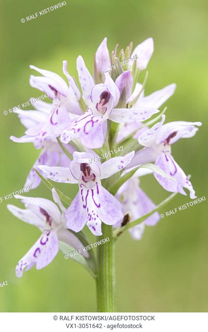 Inflorescence of Dactylorhiza maculata / Heath Spotted Orchid / Geflecktes Knabenkraut