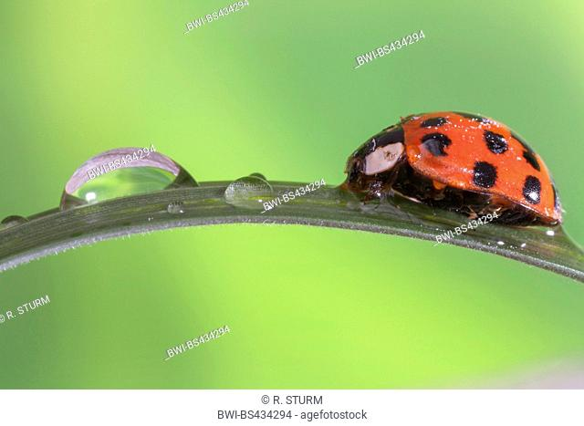 multicoloured Asian beetle (Harmonia axyridis), sits on a blade of grass with morning dew, Germany, Bavaria, Niederbayern, Lower Bavaria