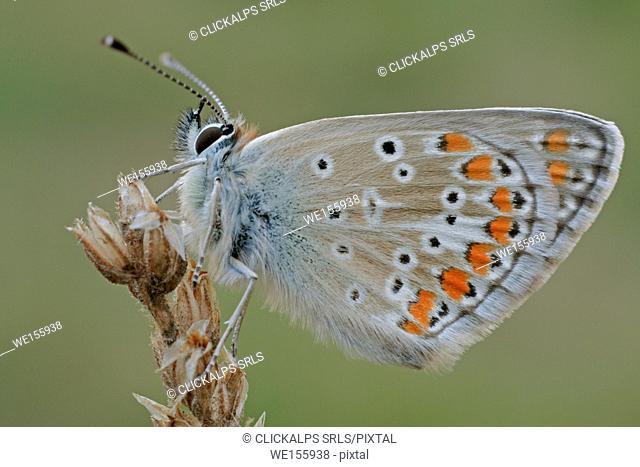 Aricia artaxerxes allous, France, valle d'Averole
