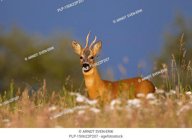 Roe deer (Capreolus capreolus) roebuck with deformed antlers in meadow in summer