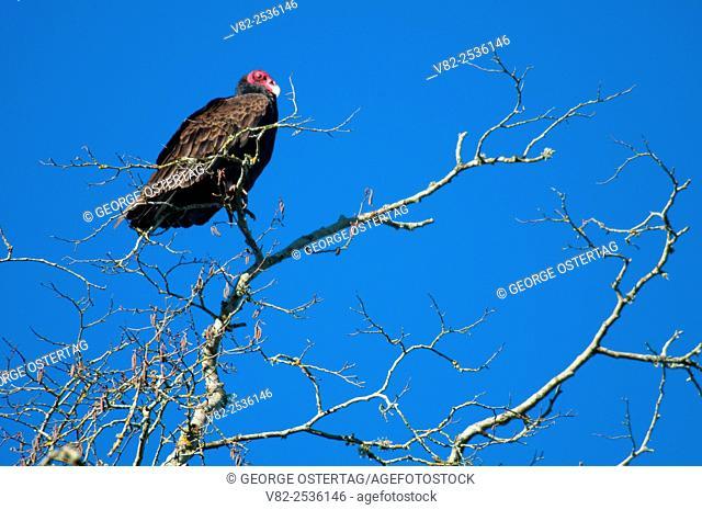 Turkey vulture, Willamette Mission State Park, Oregon